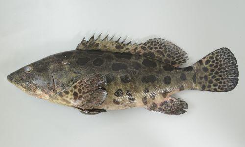 体長1.2m前後になる。頭部の体高が低く吻がとがって見える。体側の斑紋はジャガイモ(Potato)形で大きい。英名の「Potato grouper」もこの斑紋形から来ているのだと思われる。