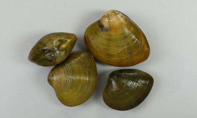 殻長4.5cm前後になる。ふくらみが強く、貝殻は厚みがあり丈夫。少し丸みのある輪肋(畝状のもの)があり、後端が尖っている。