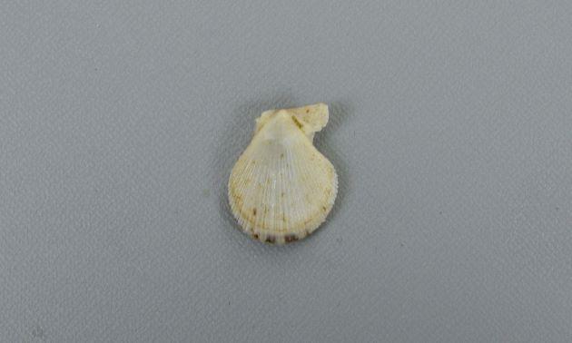 殻高4cm前後になる。貝殻は薄くもろい。