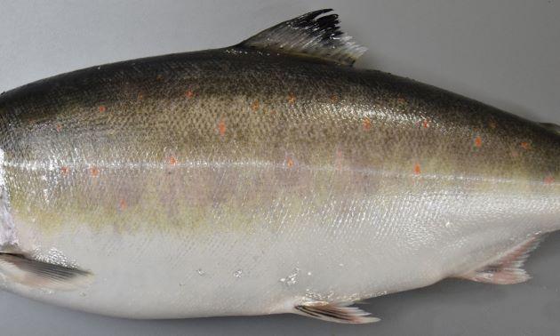 銀色の鱗を取るとうっすらとパーマークが浮き上がり、赤い点々が見えてくる。