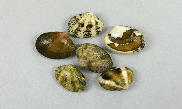 殻長3cm前後になる。アサリと比べると貝殻が薄く、ふくらみもない。貝殻の模様は多様。