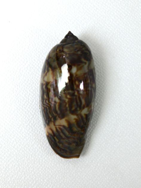 殻長8.5cm前後になる。貝殻には変異が多く、また成長に伴う変化も多い。[若い個体]