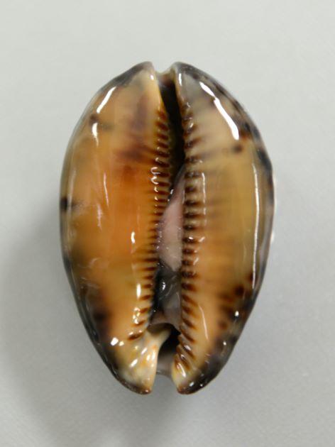 殻長8.5cm前後になる。貝殻には変異が多く、また成長に伴う変化も多い。[腹面]