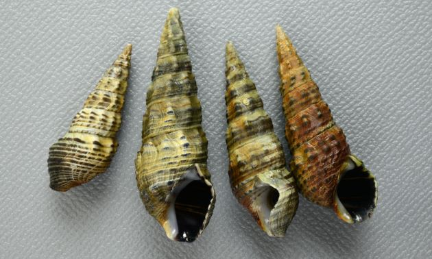殻長4cm前後になる。やや細身で各層は角張る。