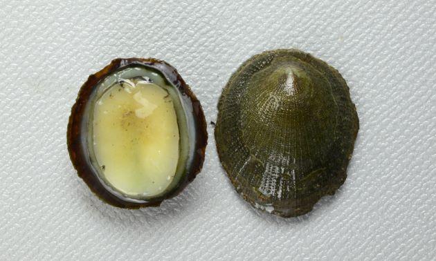 殻長3cm前後になる。正円に近い楕円形。殻頂は前端よりにある。殻表に放射線状に顆粒状のものが並んでいる。貝殻の裏側は薄青い。殻表に斑紋の出るタイプと出ないタイプがある。(無紋型)
