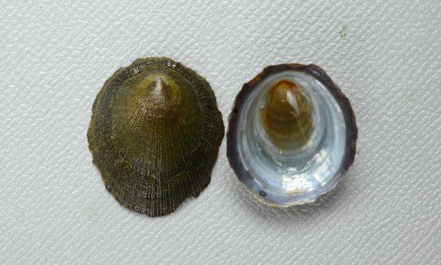 殻長3cm前後になる。正円に近い楕円形で殻表に放射線状に顆粒状のものが並んでいる。貝殻の裏側は薄青い。殻表に斑紋の出るタイプと出ないタイプがある。(無紋型)