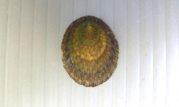殻長3cm前後になる。正円に近い楕円形で殻表に放射線状に顆粒状のものが並んでいる。貝殻の裏側は薄青い。殻表に斑紋の出るタイプと出ないタイプがある。(有紋型)