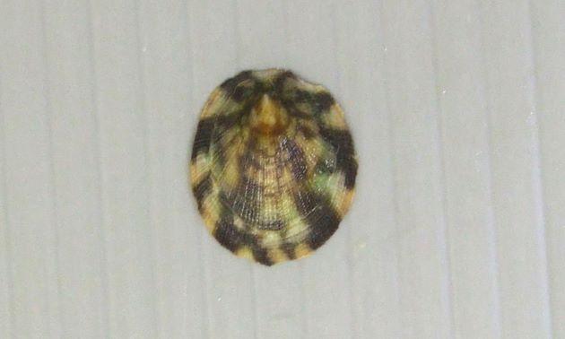 殻長3cm前後になる。正円に近い楕円形。殻表に絣を思わせる模様がある。殻頂は前端に近いところにある。裏側は青い。