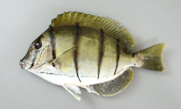 シマハギの形態写真