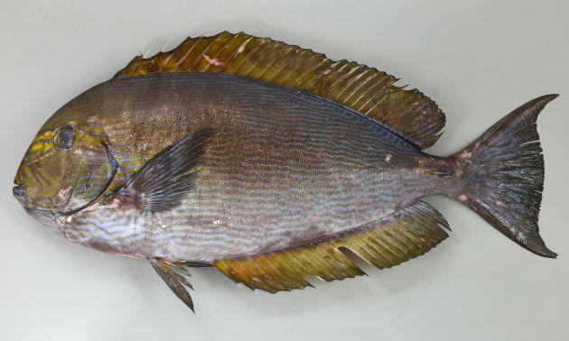 SL40cm前後になりクロハギ属では大型種。体はやや細長く体側に青く細い縦縞が無数にある。目の前に黄色い帯が2本ある。尾柄部の棘は1対で前に折りたためる。歯はクロハギ属ではやや幅広く内側に倒せない。[41.5cm]