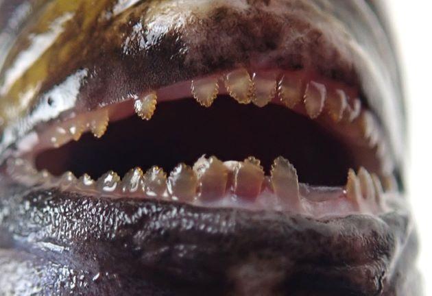歯はクロハギ属ではやや幅広く内側に倒せない。