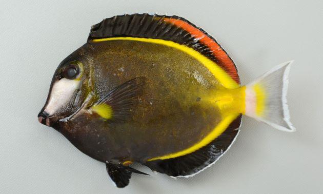 ナミダクロハギの形態写真