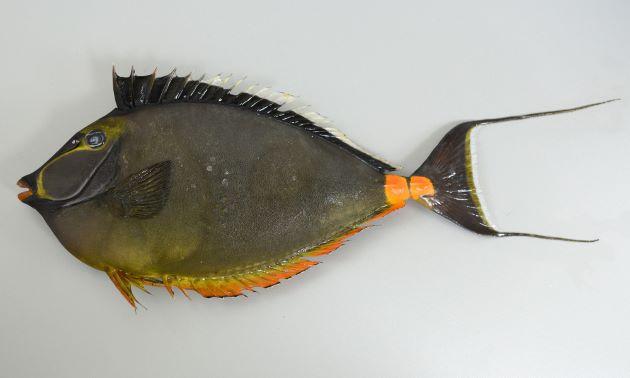 ミヤコテングハギの形態写真