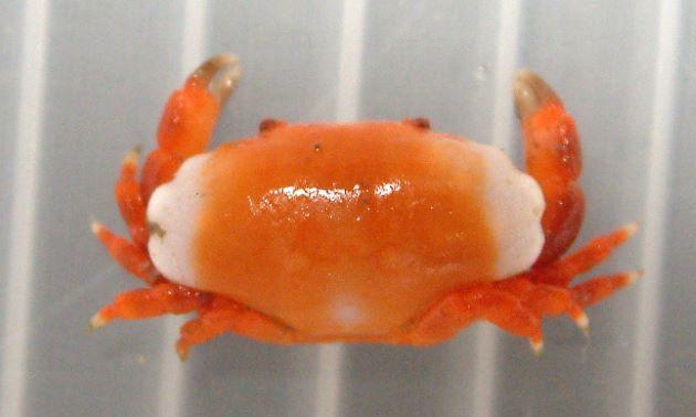 オオベニオウギガニの形態写真