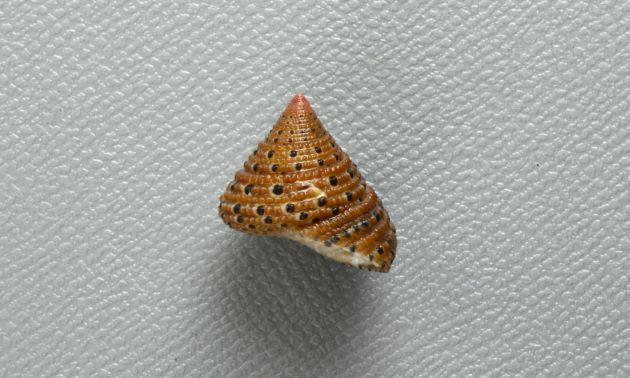 殻頂1.2cm前後になる。螺層は顆粒状の螺肋に覆われている。螺肋の中に黒ゴマ状の黒い斑紋がある。