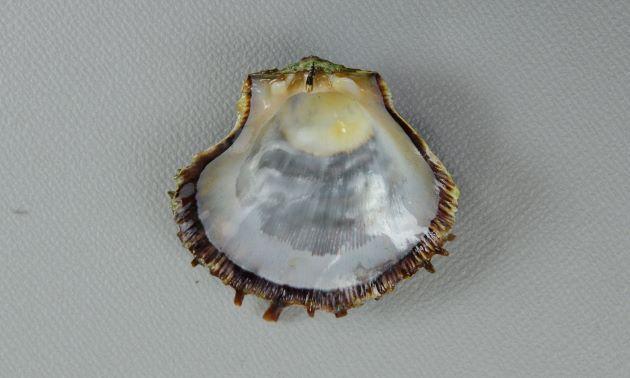 殻高6cm前後になる。形はばらつきがある。右殻はふくれる。