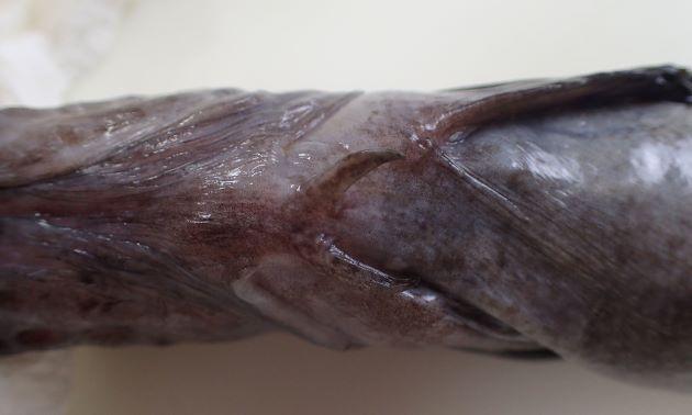 腹鰭があり、やや硬い棘がある。