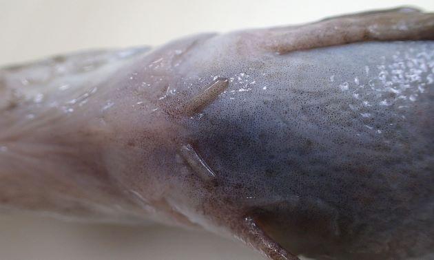 非常に小さい棒状の腹鰭がある。