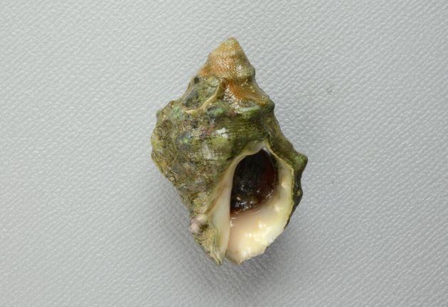 クリフレイシの形態写真