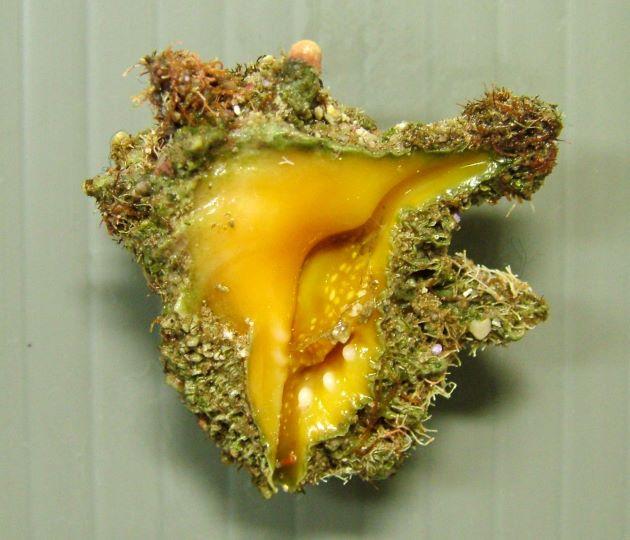 キイロイガレイシの形態写真