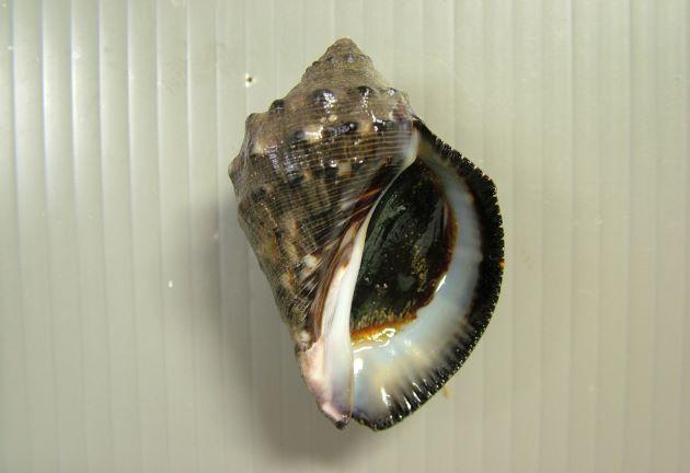 殻長6cm前後になる。
