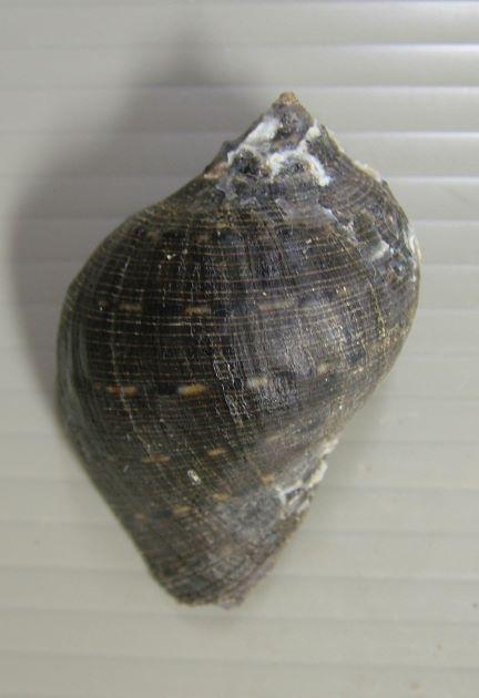殻長8cm前後になる。