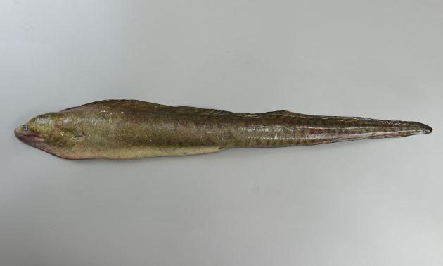 アミメウツボの形態写真
