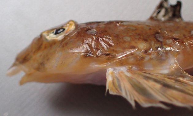 前鰓蓋骨の棘はまっすぐ槍状に伸びる。