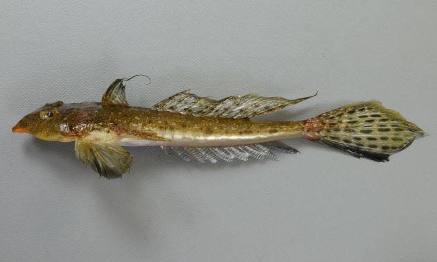 体長16cm前後になる。口はおちょぼ口で背の斑紋は不定形で不規則。前鰓蓋骨の棘は内側に曲がりいくつかに棘が分枝する。第一背鰭の軟条は伸びる。第二背鰭に不定形の斑紋がある。尾鰭下方は黒い。雄の尻鰭には白と暗色の縞模様がある。雌の尻鰭は白い。[雄]