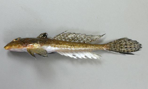 体長16cm前後になる。口はおちょぼ口で背の斑紋は不定形で不規則。前鰓蓋骨の棘は内側に曲がりいくつかに棘が分枝する。第一背鰭の軟条は伸びる。第二背鰭に不定形の斑紋がある。尾鰭下方は黒い。雄の尻鰭には白と暗色の縞模様がある。雌の尻鰭は白い。[雌]