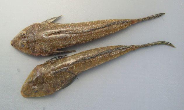 体長16cm前後になる。口はおちょぼ口で背の斑紋は不定形で不規則。前鰓蓋骨の棘は内側に曲がりいくつかに棘が分枝する。第一背鰭の軟条は伸びる。第二背鰭に不定形の斑紋がある。尾鰭下方は黒い。雄の尻鰭には白と暗色の縞模様がある。雌の尻鰭は白い。吻の部分が黄赤色[上から見たところ]