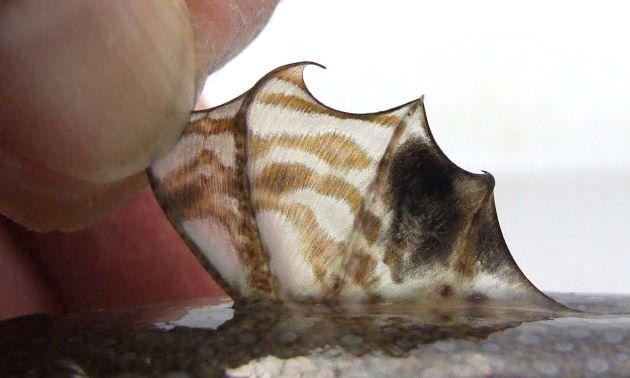 雌の第1背鰭。