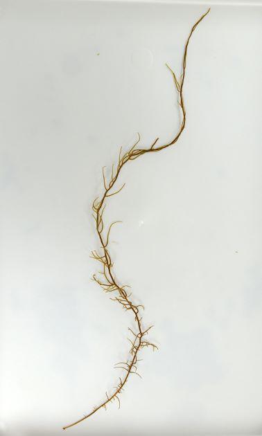 高さ40cm前後になる。主軸(幹のようなもの)が明瞭で側枝がでて、そこから小枝が無数に出る。
