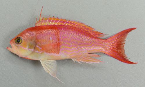 ナガハナダイの生物写真