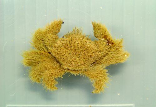 ケブカガニの生物写真