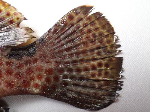 キジハタに似ているが尾鰭全体に網目状の斑紋がある。キジハタには前の方には斑紋があるが全体にはない。