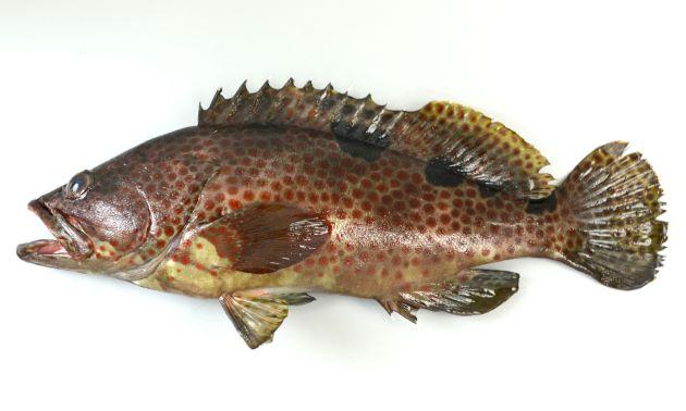 体長32cm前後になる。胸鰭全体には斑紋がない。尾鰭には網目状の斑紋がある。キジハタに似ているが背鰭中ほどから尾鰭にかけて3〜4つの黒い斑紋が並んでいる。