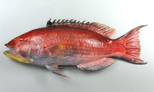体長55cm前後になる。背鰭棘は12、背鰭棘前半皮膜が黒い。胸鰭に黒色の部分がない。背鰭基部に3列以上の鱗がある。体側後半、背の部分に黒色の斑紋があるが雄は薄い。[雄]