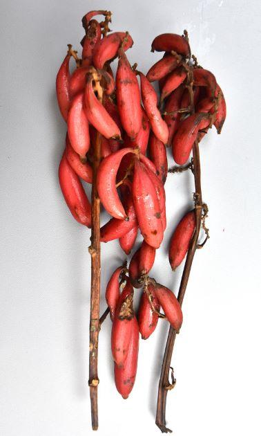 ツチアケビの形態写真