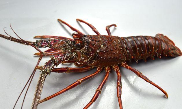 体長30センチを超える。国内でとれるエビの中でも大型のもの。赤褐色の硬い殻を持ち、触角は長く棒状で硬い。