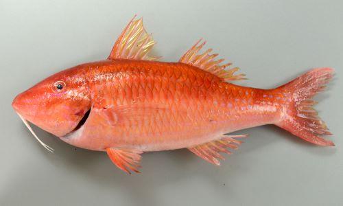 写真の個体の体長27.7mm、重さ680g。尾柄部に暗色の斑紋がない。吻近くから背面にかけて白い(赤みがかった白)い筋状のものがある。