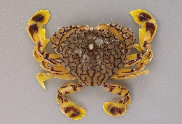 アミメキンセンガニの形態写真