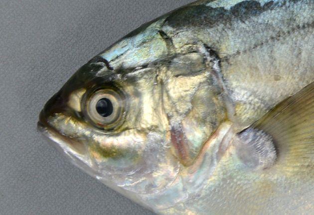 頭部は小さい。半月形の脂瞼がある。鰓蓋上部に黒い斑紋がない。