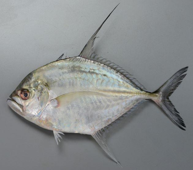 体長1m前後になる。体側は菱形に近い。第二背鰭、尻鰭の先端は伸びる。舌、口腔は淡い色合い。遊離尻鰭棘は露出していて可動性だ。[体長20cmの幼魚]