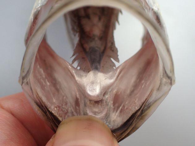 口腔は淡い色合い。舌の先端はやや尖る。