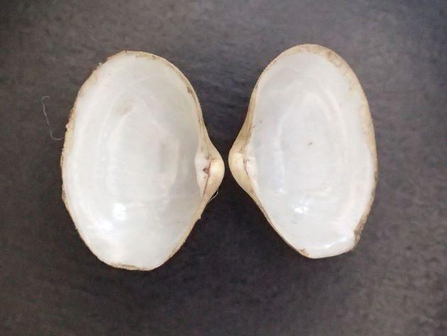 貝殻は非常に薄い。