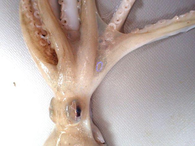 第2と第3腕の間の膜の上に輪紋がある。イイダコの輪紋は金色だが本種は黒地に青い輪だ。
