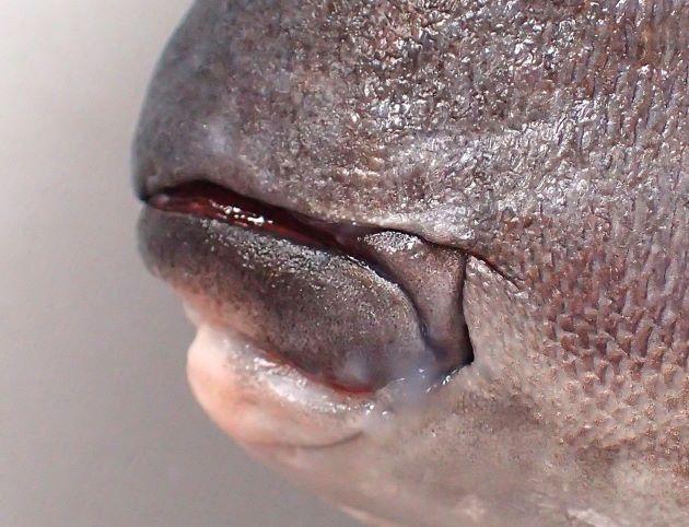 主鰓蓋骨のほとんどが類骨で被われる。