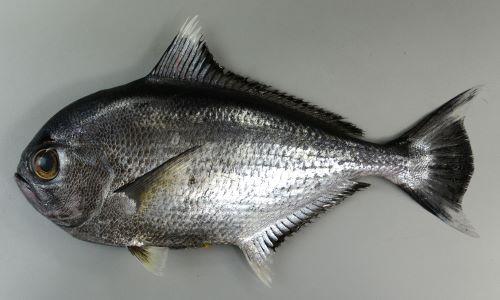 体長50cm前後になる。頭部は丸みを帯びていて左右の腹鰭は少し離れている。