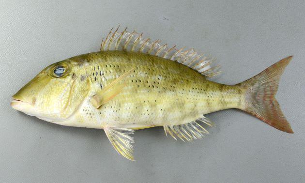体長25cm前後になる。体高は低く、胸鰭の脇の部分に鱗はない。体側に網目状の薄い線状の模様があるが薄く、やや大柄。